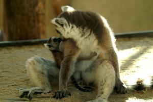Kattas (Mutter mit Jungtier)
