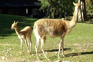 Vikunjas stammen aus Südamerika. Ihre Wolle ist die teuerste der Welt.